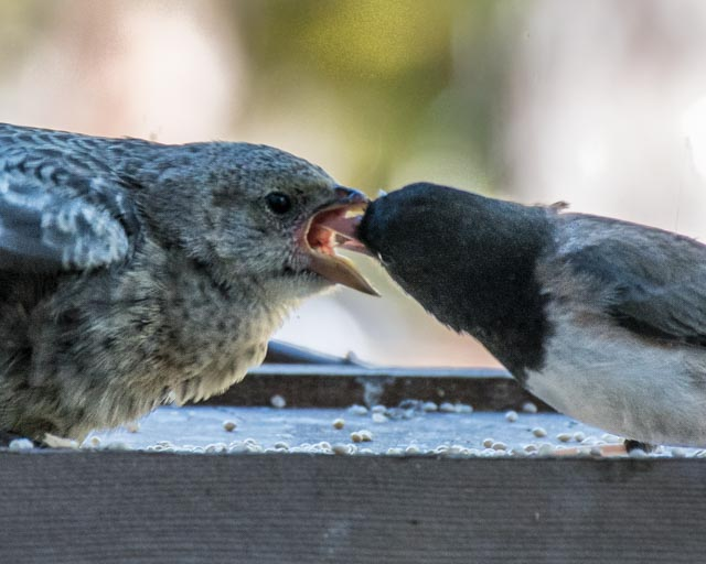 Junco feeding cowbird